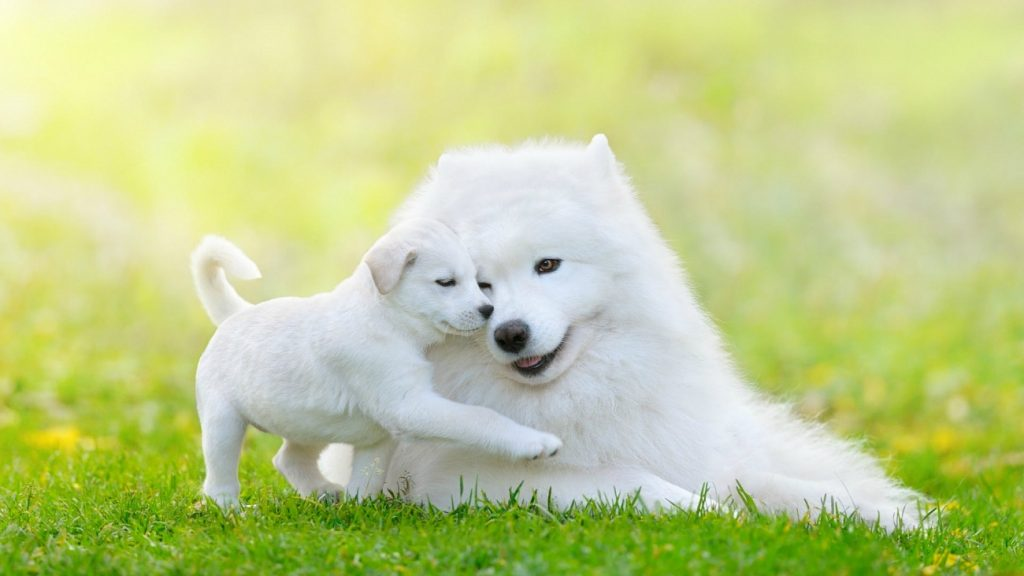 Small White Dog Breeds That Don T Shed